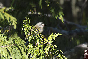 Juvenile Golden-Crowned Kinglet