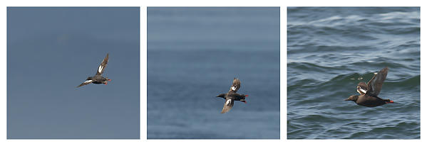 Pigeon Guillemot In Flight