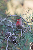 House Finch In Evergreen
