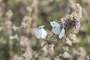 Cabbage White Feeding On Flower