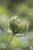 Wild Carrot Arching Into Birds Nest