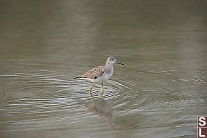 Lesser Yellowlegs Walking