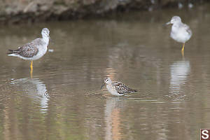 Stilt Sandpiper With Yellowlegs