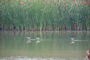 Yellowlegs Walking In West Pond