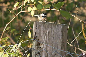 Chickadee On Fence Post