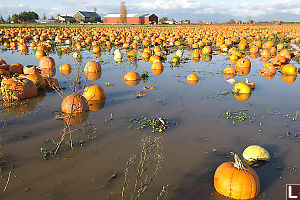 Flooded Field Of Pumpkins