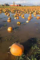 Pumpkins In A Flooded Field