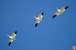 Snow Geese Flying Overhead