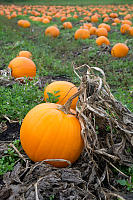 Pumpkins In Patch