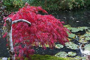 Bright Red Maple Tree Over Pond