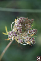 Wild Carrot Gone To Seed