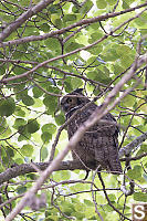 Great Horned Owl In Cottonwood Tree