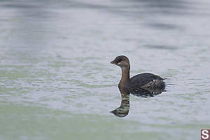 Pied Billed Grebe Non Breeding