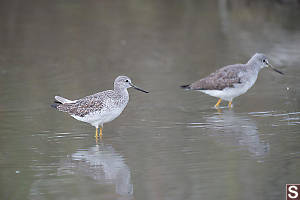 Pair Of Greater Yellowlegs