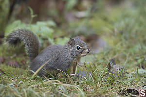 Douglas Squirrel In Grass