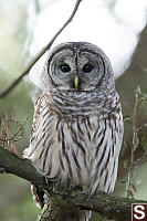 Barred Owl Looking At Me