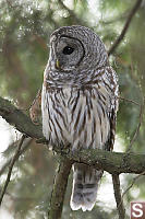 Barred Owl Side View