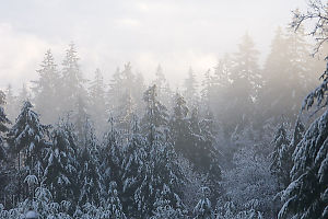 Foggy Snow Covered Trees