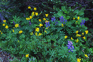 Arctic Lupine and Arnica