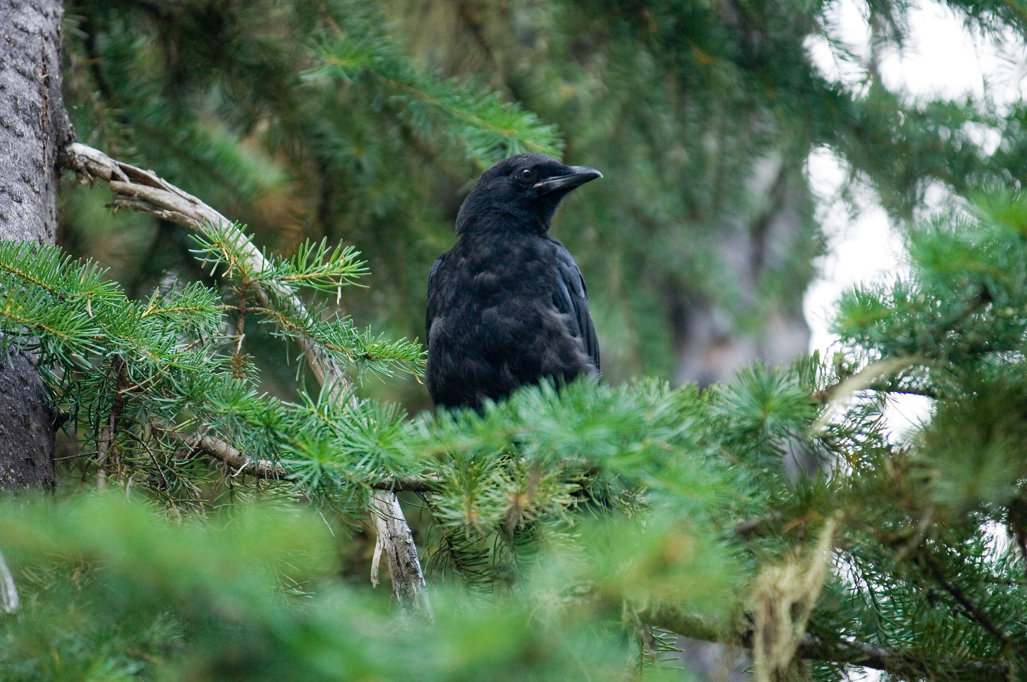 how to get rid of crows in trees