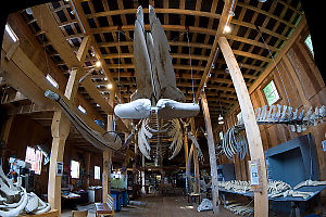 Skeleton in the Whale Interpretive Centre (Telegraph Cove)