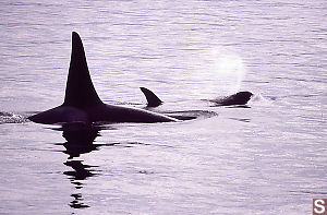 Female and Male Orca