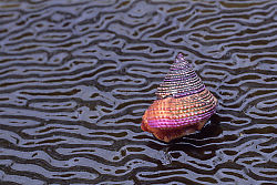 Purple Ring Top Snail on Giant Kelp