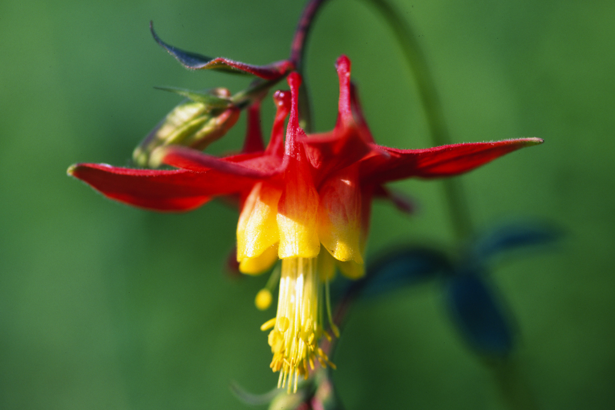 Simple expressions january 2008 red columbine and dhlflorist Image collections