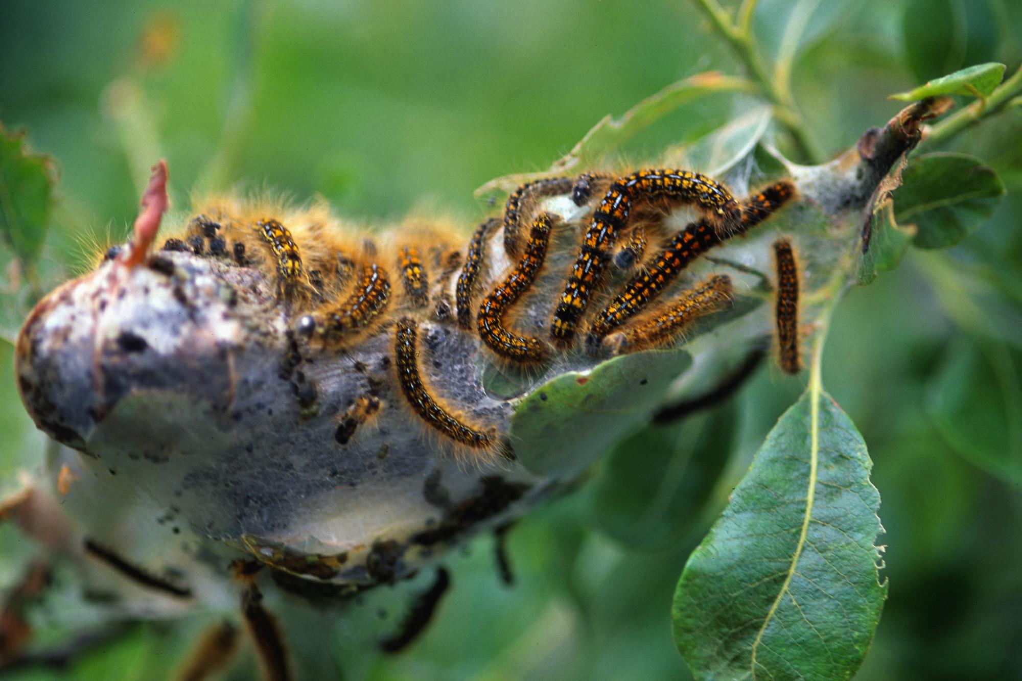 Malacosoma californicum (Western Tent Caterpillar) & California Tent Caterpillar