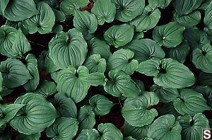 Leaves of False Lily of the Valley