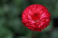 Red Corn Flower