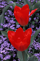 Red Tulips, Purple Background