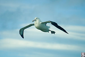 Albatross Descending