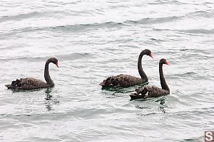 Black Swans Swimming By