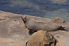 Fur Seal On Rock