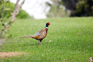 Ring Tailed Pheasant