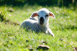 Translucent Ears Lamb