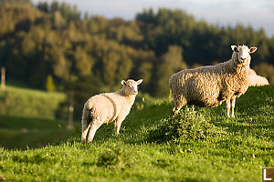 Two Lambs In Contrasty Light