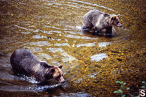 Two Bears Walking In Shallows