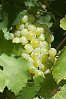 Light Green Grapes