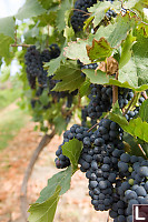Row Of Dark Purple Grapes