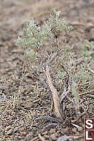 Small Sagebrush