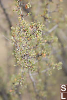 Antelope Brush