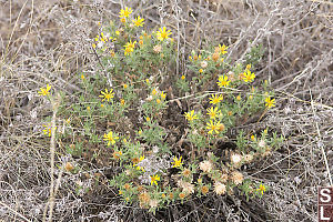 Bright Golden Aster In Dry Grass