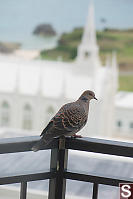 Oriental Turtle Dove On Our Balcony