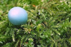 Robin Egg Shell On Moss