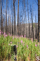 Fireweed Under Burned Trees