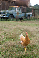 Chicken With Old Truck
