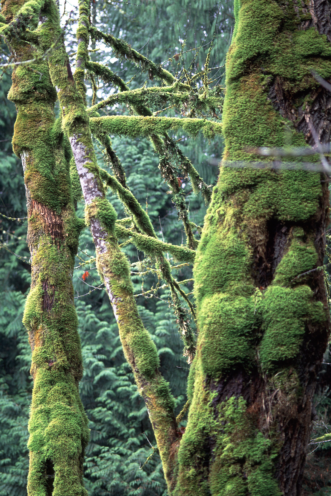 Which Trees Are Used To Make Paper: Moss On Trees