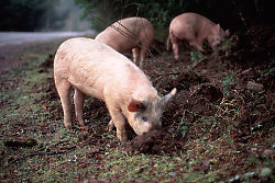 Pigs Rooting Beside Road